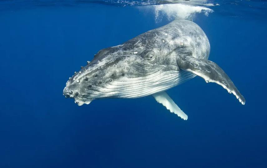 座头鲸的特殊癖好:出手搭救虎鲸的猎物(虎鲸:你蛇精病啊!