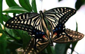 科学家研究了蝴蝶的交配方式