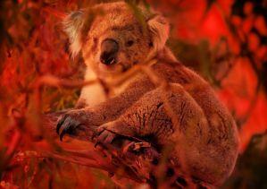 澳大利亚考拉正在走向灭绝