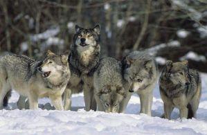 所有狗都来自同一拨被驯化的狼