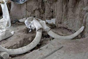 墨西哥又发现规模最大的猛犸象化石群